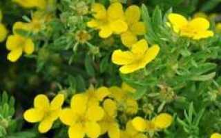 Цветы лапчатка фото