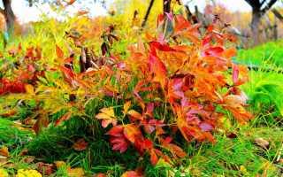 Правильный уход за пионами осенью