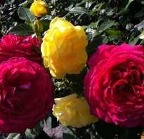 Как рассадить розу черенками