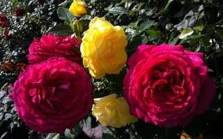 Как черенковать стебель розы с грунта