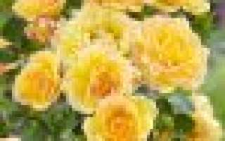 Особенности почвопокровных роз