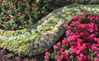 Выращивание каменной розы в саду видео