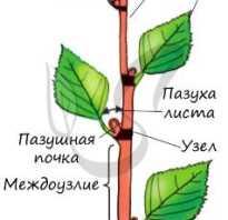Листорасположение у розы