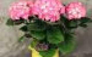 Цветок гортензия комнатная как ухаживать