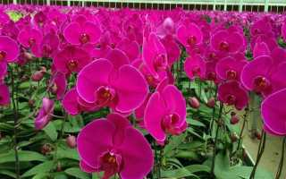 Как цветут орхидеи в домашних условиях