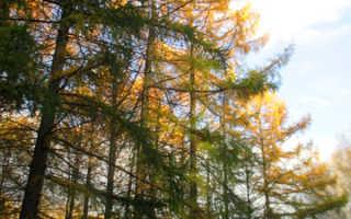 Размножение лиственницы черенками