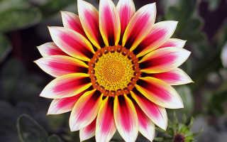 Цветы гацания фото посадка и уход
