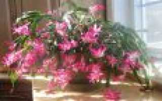 Растение декабрист уход в домашних условиях