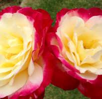 Описание сорта роз дабл делайт и фотографии