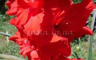 Сочетаемость гладиолусас предметами интерьера и другими растениями