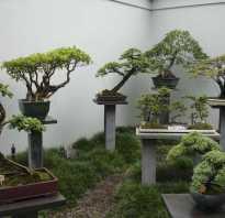 Сколько растет бонсай из семян