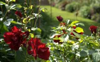 Как обрезать розы на зиму в сибири