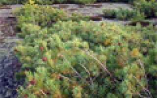 Морозоустойчивые растения примеры