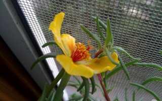 Портулак комнатное растение