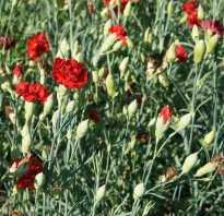 Посев семян примулы виолы и гвоздики шабо