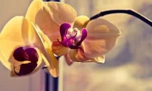 Вянут листья у орхидеи фаленопсис что делать