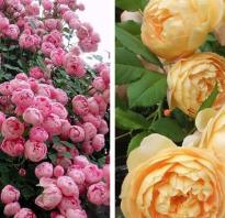 Виды пионовидных роз