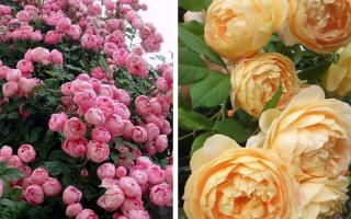 Лучшие сорта пионовидных роз