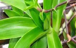 Растения золотой ус его использование в лечении