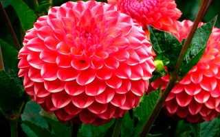 Однолетние георгины  для начинающих цветоводов