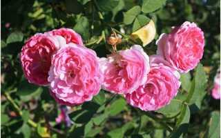Видео «обрезка роз после цветения»