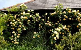 Какие розы пересаживать нельзя