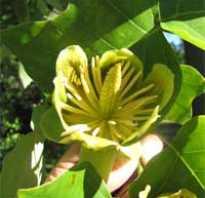 Ботаническое описание лириодендрона тюльпанного