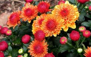 Цветы осени для сада