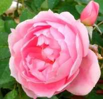 Описание роз прэйри джой