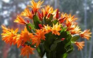 Раковая шейка цветок комнатный уход