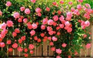 О розах без шипов