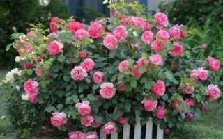 Кустовая роза посадка и уход фото