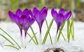 Многолетние цветы для сада крокусы