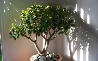 Как правильно называется денежное дерево