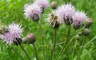 Бодяк полевой розовый осот