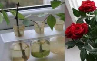 Как быстро укоренить черенки роз