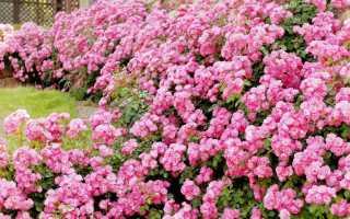 Особенности выращивания роз воткрытом грунте