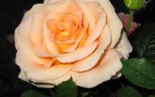 Персиковая роза фото