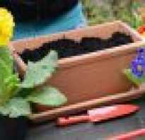 Примула садовая многолетняя выращивание и уход