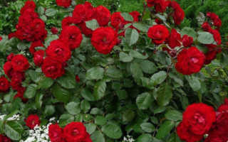 Ландшафтный дизайн сада какие растения посадить с розами