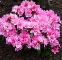 Рододендрон рози лайтс