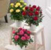 Комнатный цветок роза уход и пересадка