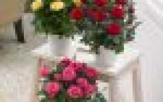 Как правильно пересадить комнатную розу
