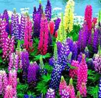 Топ 10 фиолетовых многолетников