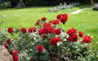 Восстановление розы после зимовки санитарная обрезка поврежденных побегов