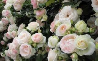 Palais royal роза