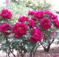 Средние сроки цветения пионов для подмосковья
