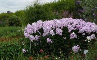 Флоксы из семян выращивание