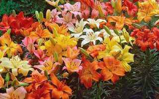 Самые красивые лилии в мире фото