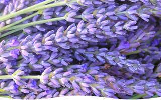 Лаванда английская выращивание из семян